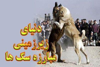 شرط بندی مبارزه سگ ها دنیای زیرزمینی مبارزه سگ ها