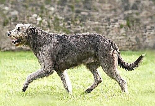 سگ دوانی مجازی چگونه برگزار می شود؟